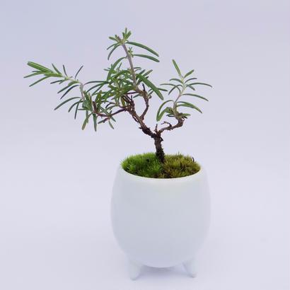 【マイクロ盆栽】ローズマリー
