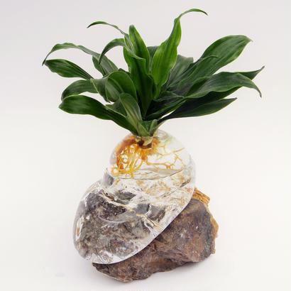 【アクア盆栽】ドラセナ・コンパクタ