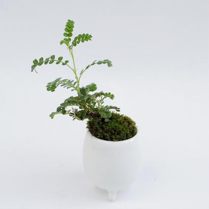 【マイクロ盆栽】イソザンショウ(磯山椒)
