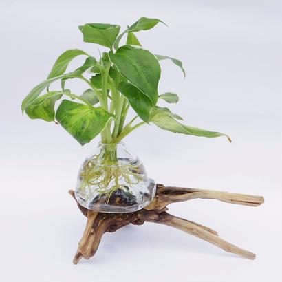 【アクア盆栽】ディフェンバキア