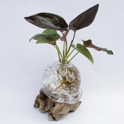 【アクア盆栽】シンゴニウム チョコレート