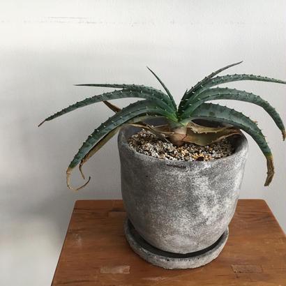 アロエ スプラフォリアータ   -Aloe suprafoliata-