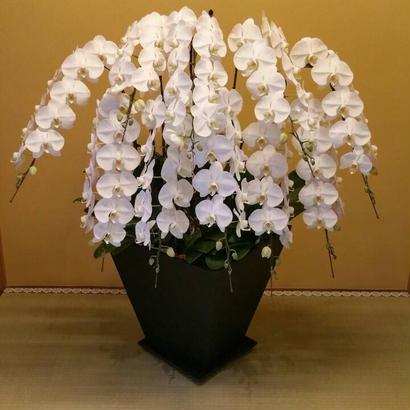 胡蝶蘭 10本立ち(※お届けに5、6日程かかります)