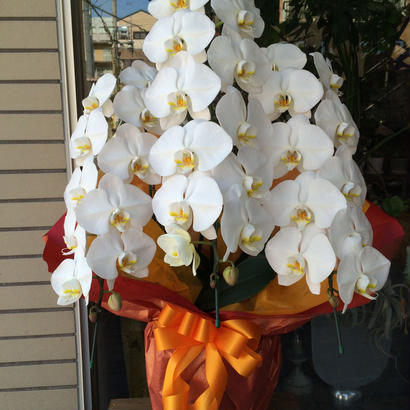胡蝶蘭 白 3本立ち (※お届けに3~5日かかります)