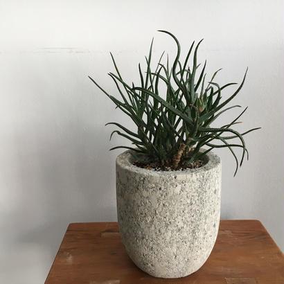 アロエ バーケリー -Aloe bakeri-