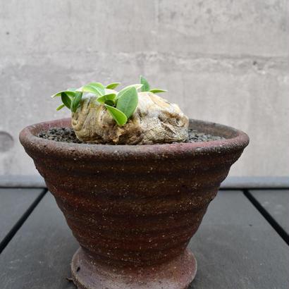 Pachypodium brevicaule 恵比寿笑い2