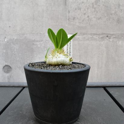 Pachypodium brevicaule 恵比寿笑い1