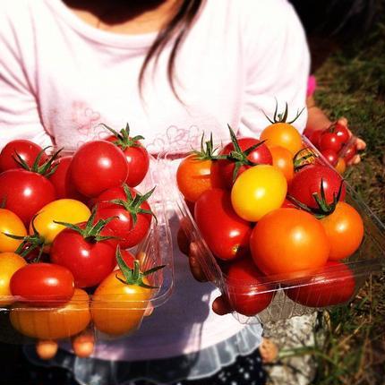 自然栽培ナチュラルミックストマト 家庭用 1kg