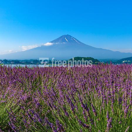初夏の河口湖のラベンダーと富士山[河口湖町]