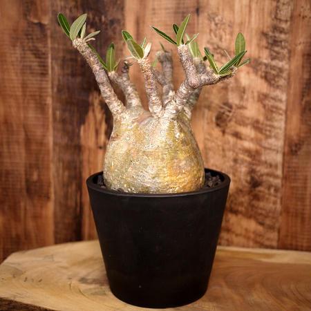 Pachypodium rosulatum spp. gracilius パキポディウム・ロスラーツム・グラキリウス(グラキリス)G5