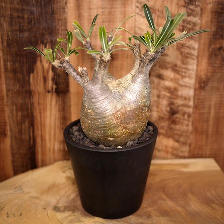 Pachypodium rosulatum spp. gracilius パキポディウム・ロスラーツム・グラキリウス(グラキリス)G6