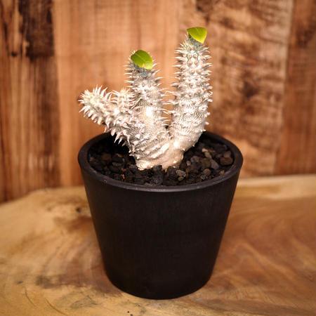 Pachypodium densicaule パキポディウム・デンシカウレ(恵比寿大黒)