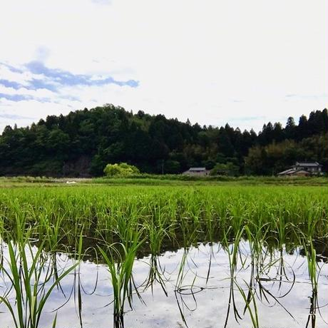 黒米「朝紫」|SKURO