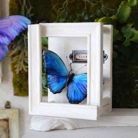 蝶の壁掛けメネラウスモルフォ