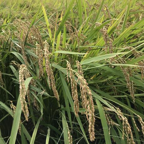 ヒシイケ家の淡路島産・お米(玄米) [2020年度産]10kg