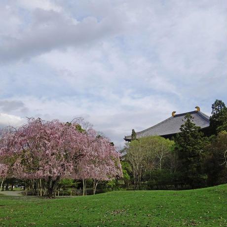 奈良てがみ 「おかっぱ桜」