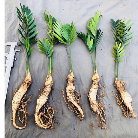 Encephalartos Latifron 1plant