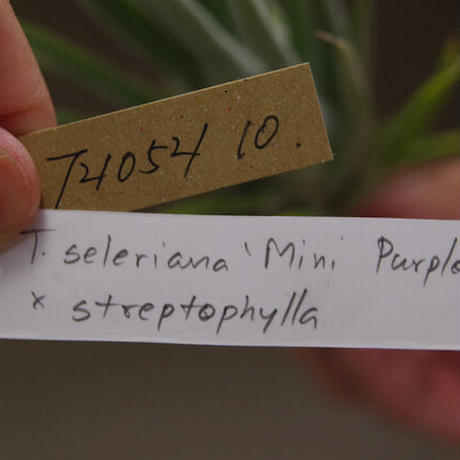 セレリアナ ミニパープル × ストレプトフィラ 01号