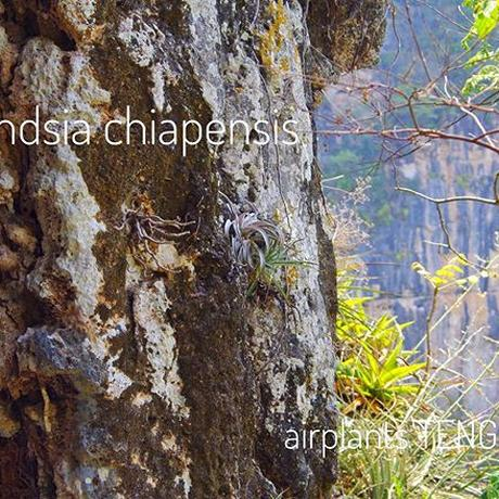 チアペンシス × ミトラエンシス 02号