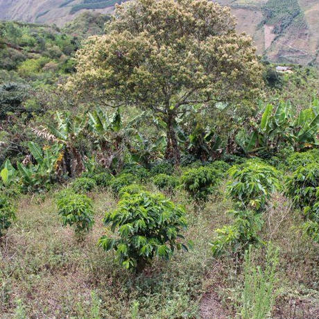コロンビア エル・セドラール農園 100g