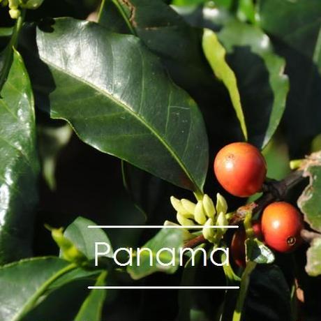 パナマ カジェホン農園 予約販売                ゲイシャ ナチュラル 100g