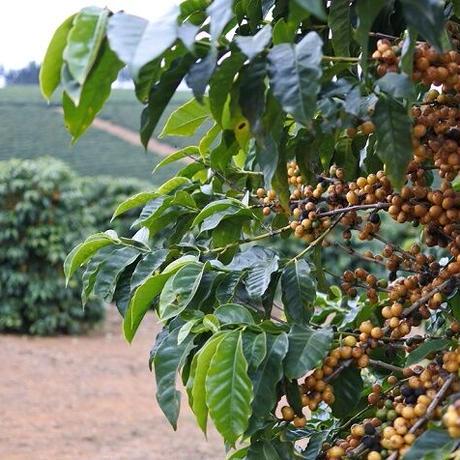 ブラジル  ダテーラ農園 イエローブルボン 200g