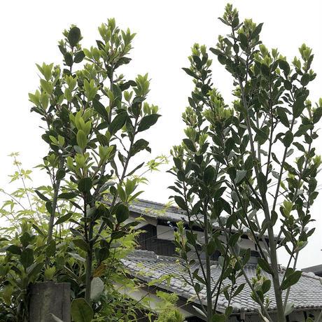 【無農薬】ドライハーブ  ローリエ(月桂樹)