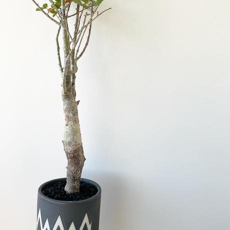 "Commiphora humbertii × MONSTER MOUTH ""VINTAGE BLACK"" BLOCK"
