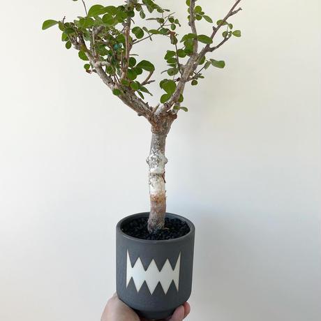 "Commiphora orbicularis × MONSTER MOUTH ""VINTAGE BLACK"" BLOCK"