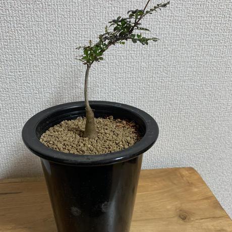【超高級株】オペルクルカリアデカリーのミニサイズ