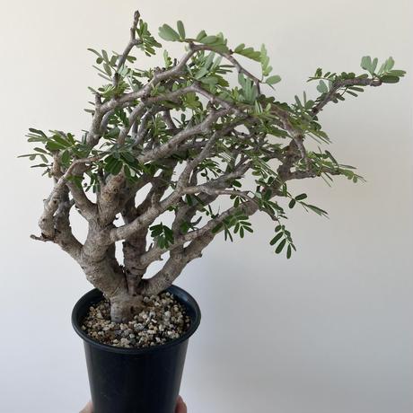 センナ・メリディオナリス【最高の樹形・圧倒的な芽吹き】