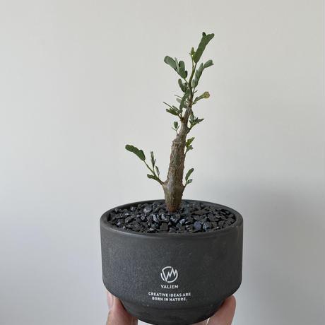 """Senna meridionalis × MONSTER MOUTH BLOCK """"VINTAGE BLACK""""【ポップな盆栽】"""