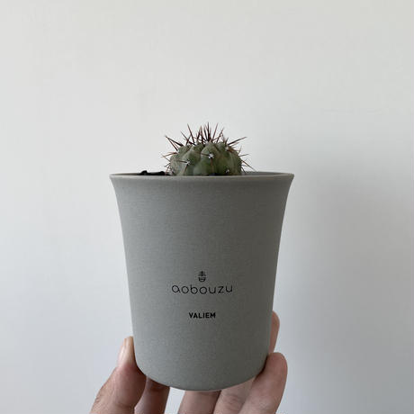 "Copiapoa cinerea var.columna-alba 孤竜丸 × ROUGH WARP ""THX鉢""青坊主別注 Gray Color"