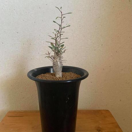 Fouquieria columnaris 観峰玉【再入荷!バランス良しな最高株】