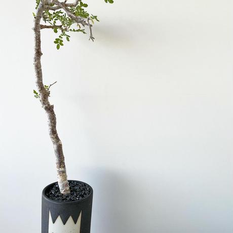 "Commiphora monstrosa × MONSTER MOUTH BLOCK ""VINTAGE BLACK"""