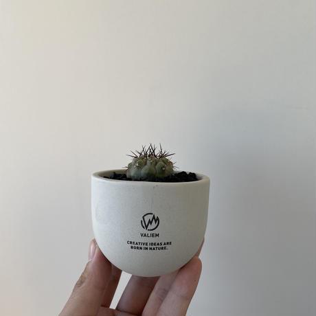 "Copiapoa cinerea var.columna-alba 孤竜丸 × ROUGH WARP ""THX鉢"""