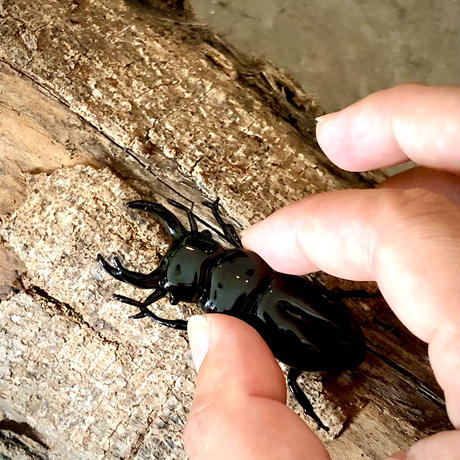 Stag beetle/クワガタムシ