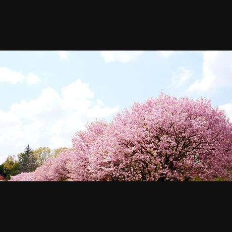ドローン×4Kカメラ映像【Healing Blue Air ヒーリングブルー・エア】 桜 Sakura