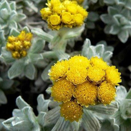 ヘリクリサム( Helichrysum)エッセンシャルオイル 3mL