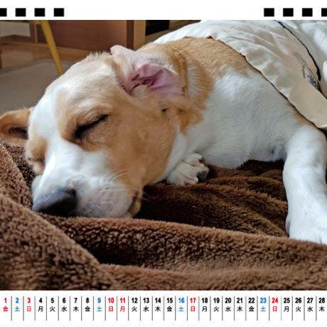 【予約販売】 ビーグル犬 うぃるさん 2021年 卓上カレンダー TC21075