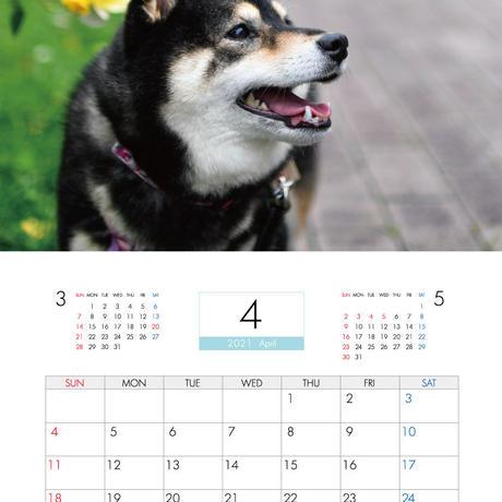 【予約販売】 柴犬 acoshiba 2021年 壁掛けカレンダー KK21066