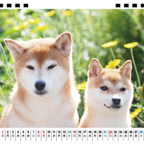 【予約販売】 柴犬 シバオくんと六花ちゃん 2021年 卓上カレンダー TC21137