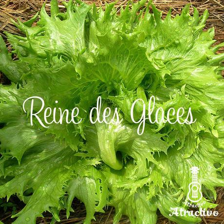 フランス原産/氷の女王/耐寒性のあるバタビアレタス/アイスクイーンの種