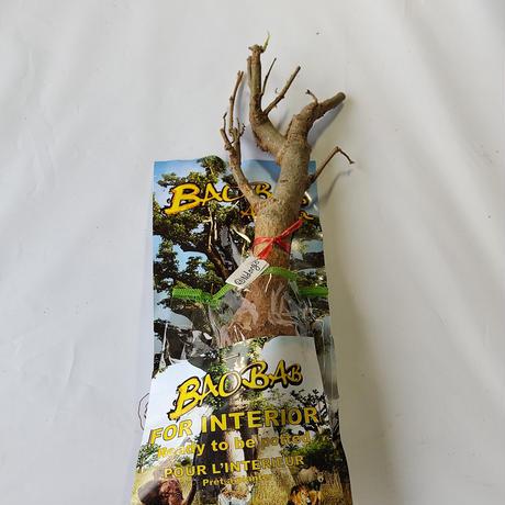 バオバブ苗木 4-5年 ⑳Ndongo (Adansonia Digitata)