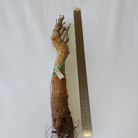 バオバブ苗木 4-5年 ④Habib (Adansonia Digitata)