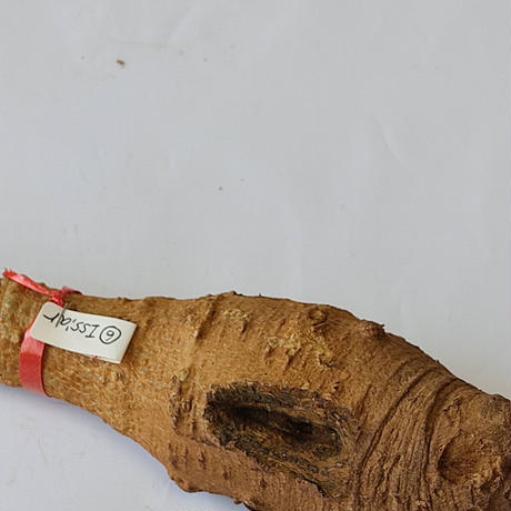 バオバブ苗木 4-5年 ⑥Issiar (Adansonia Digitata)