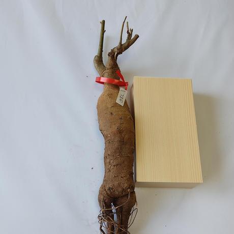バオバブ苗木 4-5年 ⑦El (Adansonia Digitata)