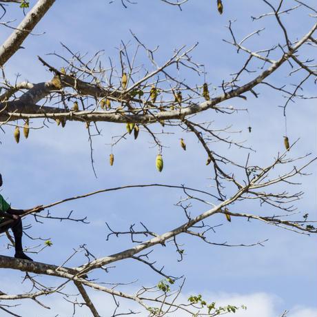 バオバブパウダー/Poudre de Baobab   300g