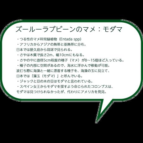 【送料無料】ズールーラブビーン モダマ 豆 アフリカンキーリング2