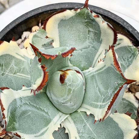 アガベ イシスメンシス 兜蟹錦③ Agave isthmensis 'Kabutogani' variegated